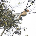 Jumping Proboscis Monkey