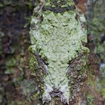 Frilled Tree Frog