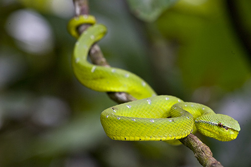 Male Wagler's Pit Viper
