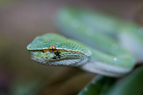 Juvenile Wagler's Pit Viper