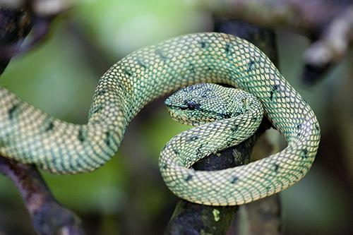 Female Wagler's Pit Viper