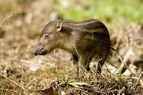 Bornean Bearded Piglet