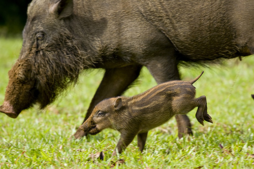 Bornean Bearded Pig and Piglet