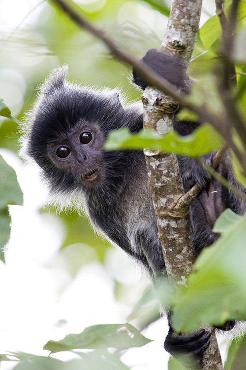 Young Silvered Leaf Monkey