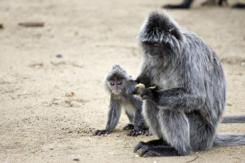Silvered Leaf Monkey adult and baby