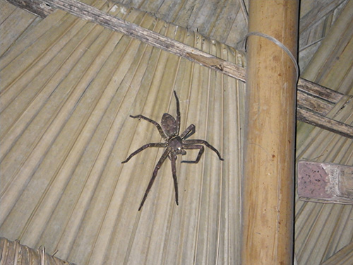This big hairy spider was our nightly pet on the roof of our treehouse!
