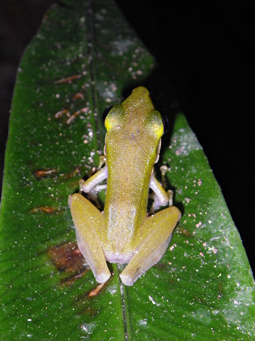 Poisonous Rock Frog