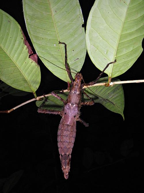 Sarawak Spiny Stick Insect